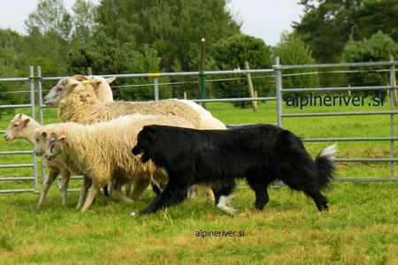 herding01